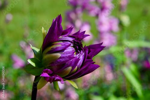 violette Dahlie
