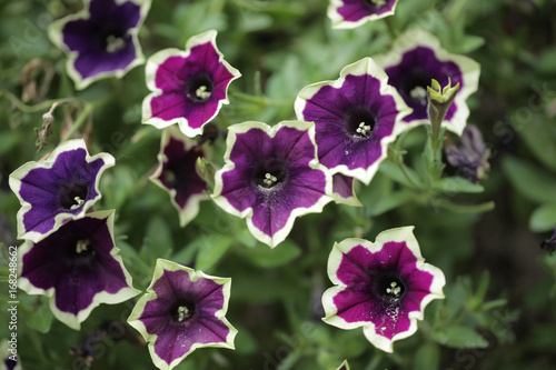 kwiaty makro - piękne surfinie
