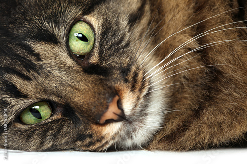 Big brown Maine Coon cat close up