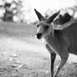 Kangaroo outside during the day