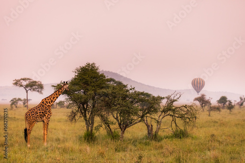 Papiers peints Baobab Eating baby giraffe in nature savannah habitat during summer morning sunshine, Serengeti National Park, Tanzania. Wildlife scene of African Safari. Hot air balloon in the background.
