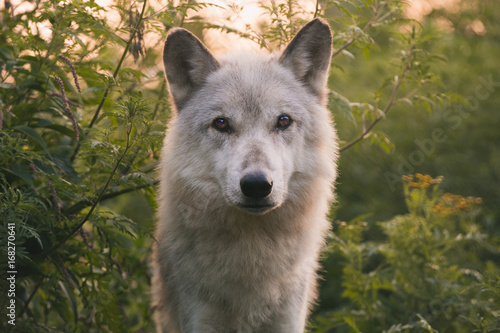 Wolf At Dawn Poster