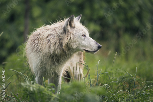 Aluminium Wolf Wolf In The Rain