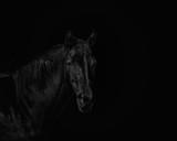 Portrait of a beautiful black stallion on a black background - 168298432