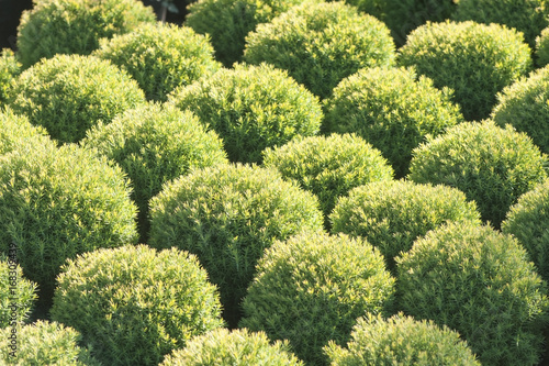 Coniferous plants in garden pots in the nursery