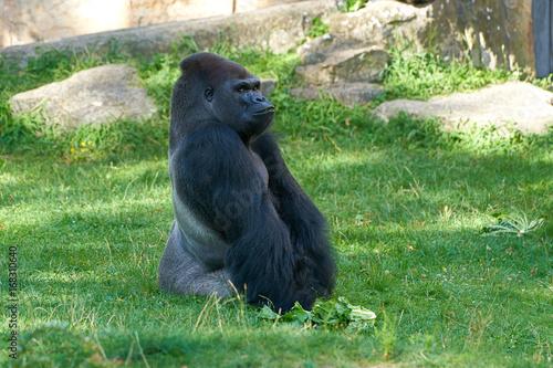 nachdenklicher Gorilla Poster