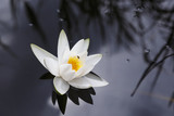 Insect on a white waterlily