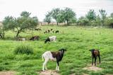 Schafe auf der Weide - 168323462