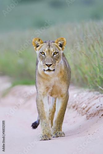 Kalahari Queen Poster