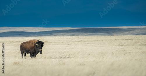 Aluminium Bison Bison in the stormy prairie sky