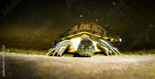 Aluminium Schildpad Turtles in the pond