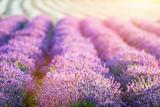 Lavender flower field at sunset. - 168327802