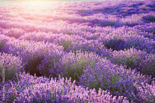 Fototapeta Lavender flower field at sunset.