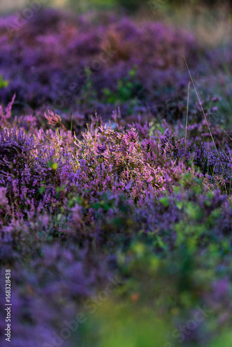 Foto op Canvas Aubergine Close-up of blooming common heather lit by morning sun.