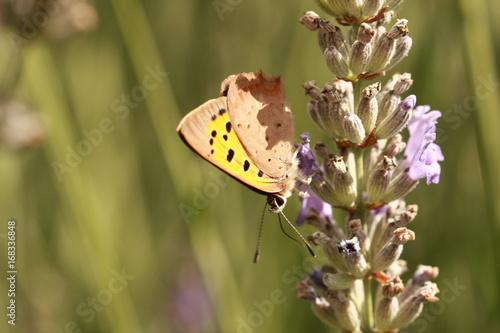 Aluminium Lavendel Papillon sur fleur de lavande