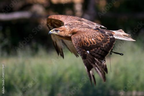 Aluminium Eagle Aquila reale ammaestrata in volo