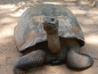 Close up shot of a Galapagos tortoise facing front Some Galapagos tortoises live up to be 100 years old