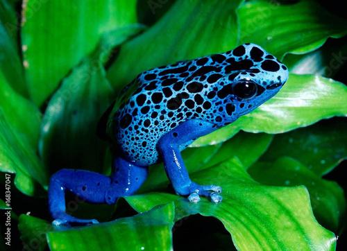 Blue Frog on leaf