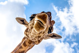 Close-up of a giraffe head during a safari trip South Africa - 168361845