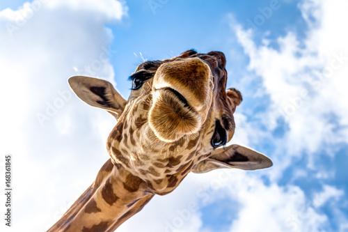 Fototapeta Close-up of a giraffe head during a safari trip South Africa