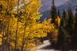 Yellow Aspen Trees Along a Mountain Dirt Road in Fall