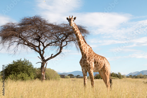 A large giraffe in a Ruaha National Park Poster