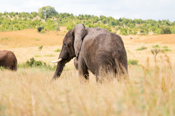 An elephant grazing in Ruaha National Park