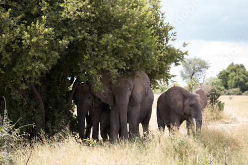 A herd of elephants under a tree shade in Ruaha National Park