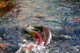 humpback salmon and blueback in shallow males - 168373227