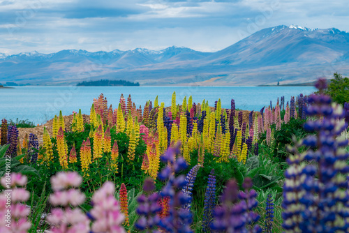 Plakat Landscape at Lake Tekapo Lupin Field in New Zealand