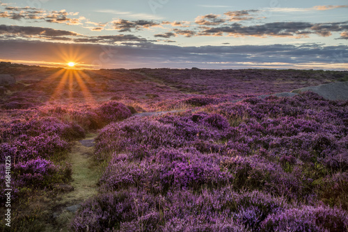 Poster Stunning dawn sunrise landscape image of heather on Higger Tor in Summer in Peak District England