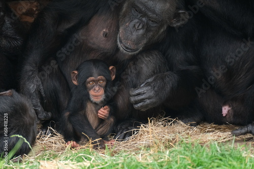 Plakat Baby chimpansee