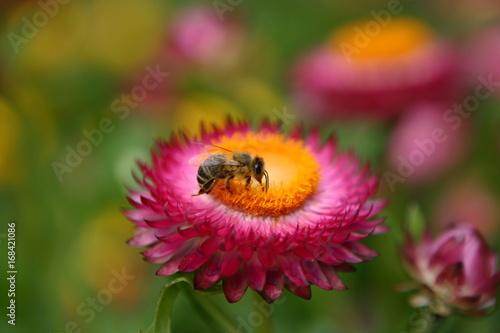 Poster Biene auf Blüte