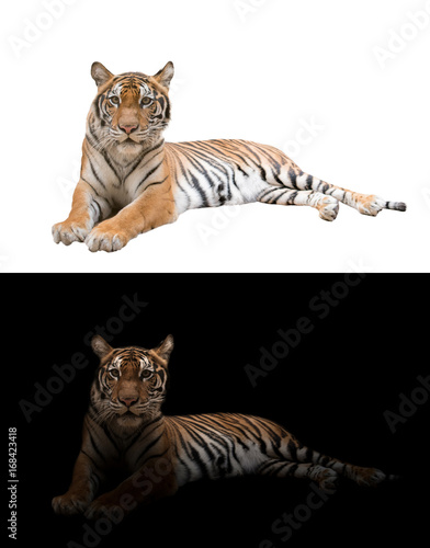 bengal tiger in the dark and white background Poster