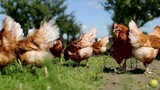 chicken on traditional free range poultry - 168429085