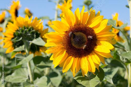 Foto op Canvas Meloen Sonnenblumen, Bienen, blauer Himmel