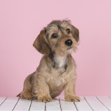 Cute wire haired dachshund puppy on a white wooden floor and a pink background