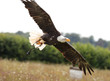 Close up of a Bald Eagle in flight