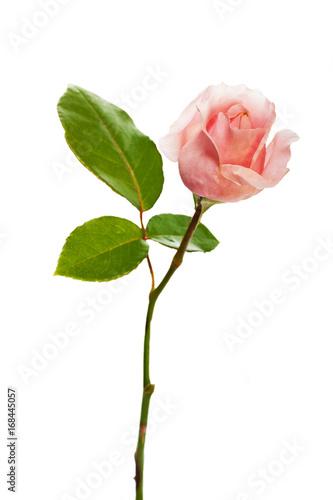 Leinwanddruck Bild Rose