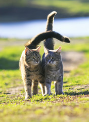 striped pair of lovers cats goes on a green meadow in spring
