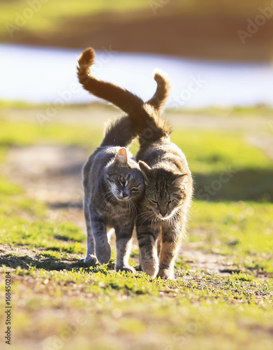 two lovers cat walking on green grass next to a Sunny spring day