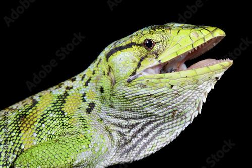 Monkey lizard, polychrus marmoratus