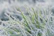 Frozen morning grass. Close-up blade of grass.