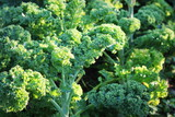 Young kale growing in the vegetable garden - 168477460