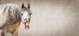 Funny horse face with Open mouthed looking in camera at gray background, place for text, banner - 168479860