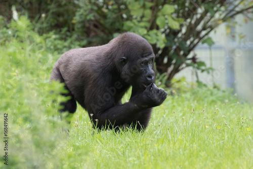 Plakat Gorilla