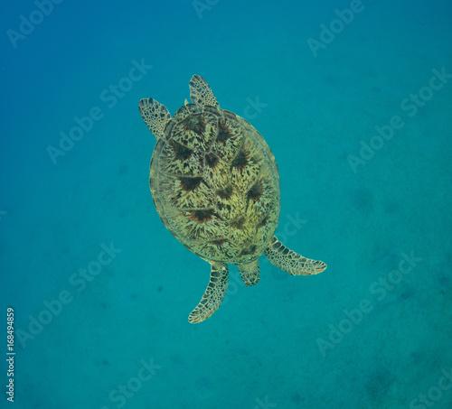 Hawksbill turtle swimming into depth.