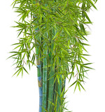 touffe de bambous, fond blanc