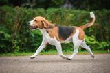 Beagle dog running trot - 168506658
