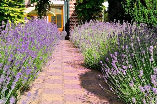 Foto op Canvas Lavendel Lavande